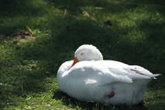 Goose sleeps. White goose sleeps on green grass by summer Stock Photos