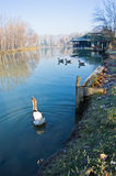 Goose on a small lake at sunny morning Royalty Free Stock Photos