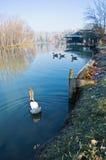 Goose on a small lake at sunny morning. Near Belgrade, Serbia Royalty Free Stock Photos