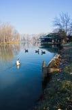 Goose on a small lake at sunny morning. Near Belgrade, Serbia Royalty Free Stock Photo