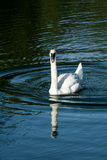 Goose in a small pond Stock Photography