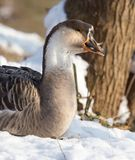 Goose on snow in winter. In the park in nature Stock Images
