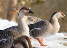 Goose on snow in winter. In the park in nature Royalty Free Stock Photography