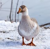 Goose on snow in winter. In the park in nature Royalty Free Stock Images