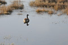 Goose solace. A single goose floating in swamp land. Peaceful, and serene Royalty Free Stock Images