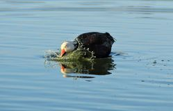 Goose Splashing it`s Head in the Water Stock Images