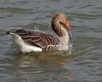 Goose splashing in the water. A goose washing by splashing water over its body showing water droplets Stock Photos