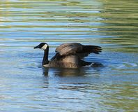 Goose. This goose is spreading its wings Royalty Free Stock Photography