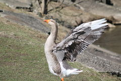 Goose. This goose is spreading its wings Stock Photography
