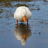 goose spring feeding lake. Stock Photo