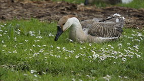 Goose. In a spring meadow Royalty Free Stock Images