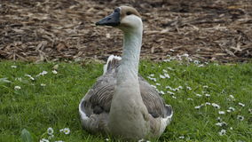 Goose. In a spring meadow Royalty Free Stock Photos