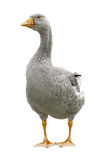 Goose standing. On white background Royalty Free Stock Photography