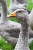 The goose is standing Stock Photo