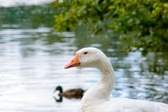 Goose standing eyeing the camera. White goose standing eyeing the camera at the edge of a tranquil pond with swimming ducks Royalty Free Stock Image