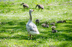 Goose standing guard Stock Image
