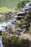 Goose standing near a fountain pond. Goose standing next to a fountain pond Stock Photography