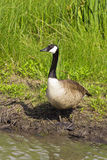 Goose standing near a pond Royalty Free Stock Images