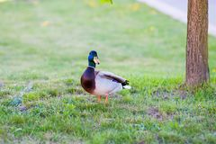 The goose is standing near the tree royalty free stock image