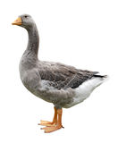 Goose standing profile Royalty Free Stock Photos