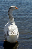 Goose Standing Royalty Free Stock Photo