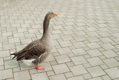Goose is standing on a road tile in the city Stock Photo