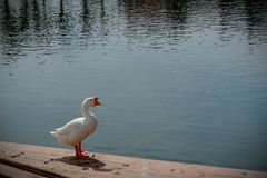 Goose standing on the waterfront. royalty free stock image