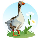 Goose stands on a meadow with flowers. Waterfowl. Wildflowers. Chamomile. Vector Stock Photos