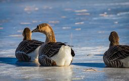 Goose stare. A goose staring while sitting on a frozen pond stock photos