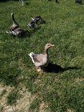Goose staring at the sun. Stock Images