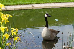 Goose stretches his neck. In the lake near yellow flower Royalty Free Stock Image