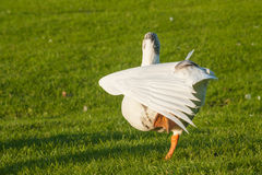 Goose stretching its wings Stock Photo