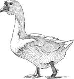 Goose striding Royalty Free Stock Photo