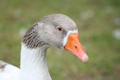 Goose. During the summer months on a farm royalty free stock image