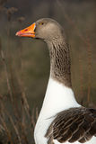 Goose in the sun Royalty Free Stock Photography