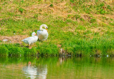 Goose and swan on the shore of a lake Royalty Free Stock Photography