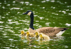 A goose swimming with four gosling on a rainy day royalty free stock photography