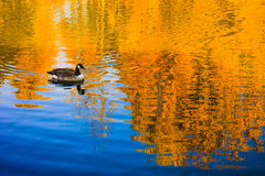 Goose swimming on the lake Stock Photography