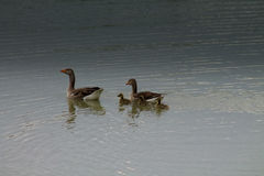 Goose swimming. On the lake with small goslings Royalty Free Stock Photo