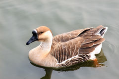 Goose swimming in a pond Royalty Free Stock Photography
