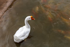 Goose swimming in the pond. Royalty Free Stock Images