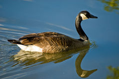 Goose swimming on pond. With reflection in water Royalty Free Stock Photos