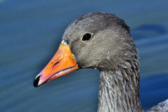 Goose. Goose swimming in a pond Royalty Free Stock Image