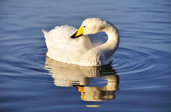 Goose swimming in a pond Stock Image