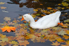 Goose swimming in a pond Stock Images