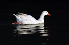 Goose swimming in the water. Domestic goose swimming in the water stock images
