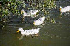 Goose. Swimming goose water nature birds Stock Photos