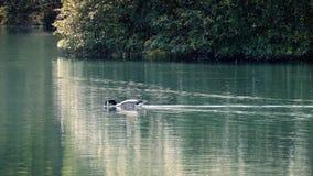 Goose Swims Across Sunny Lake stock footage