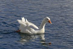 The goose swims in the pond. Domestic bird. Floating in the pond white goose on a sunny day Stock Image