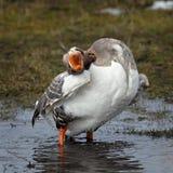 goose swims spring lake. Royalty Free Stock Photos